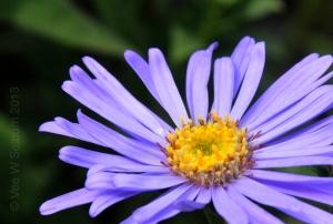 Michelmas-Daisy